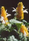 Lollipop-plant