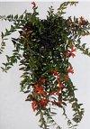 Agapetes macrantha