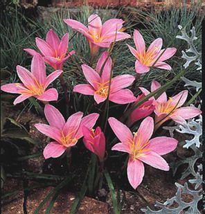 Rosepink zephyrlily