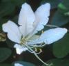 Bauhinia punctata