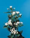 Bouvardia ternifolia