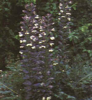 "Acanthus mollis"""
