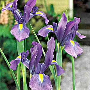 Linguaggio dei fiori - iris