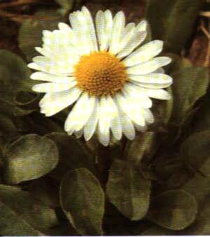 """Chrysanthemum frutescens"""""""