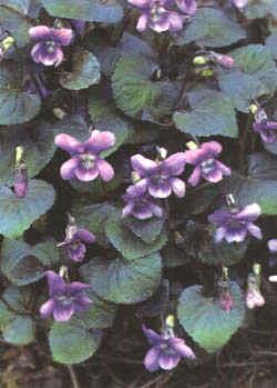 """Viola cornuta"""""""