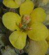 """Verbascum olympicum"""""""