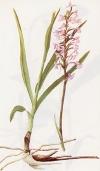 """Gymnadenia conopsea"""""""
