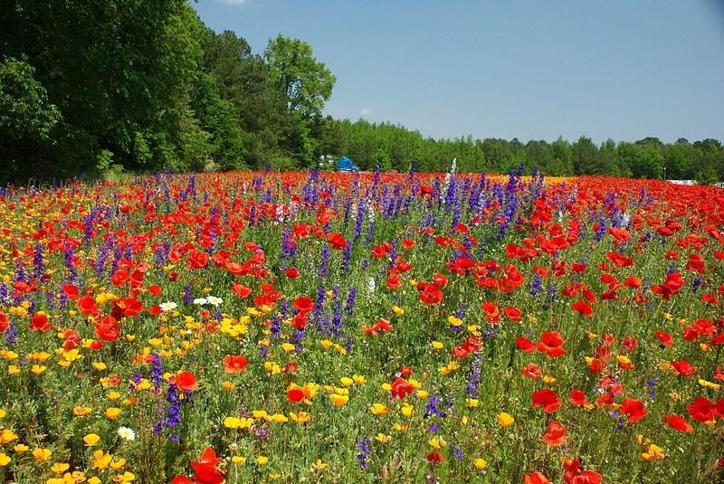 fiori gialli di campo