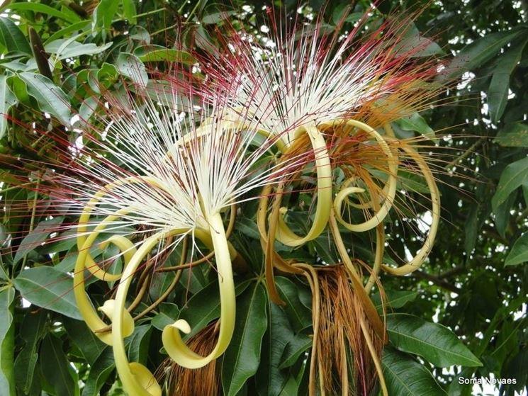 fiori pachira