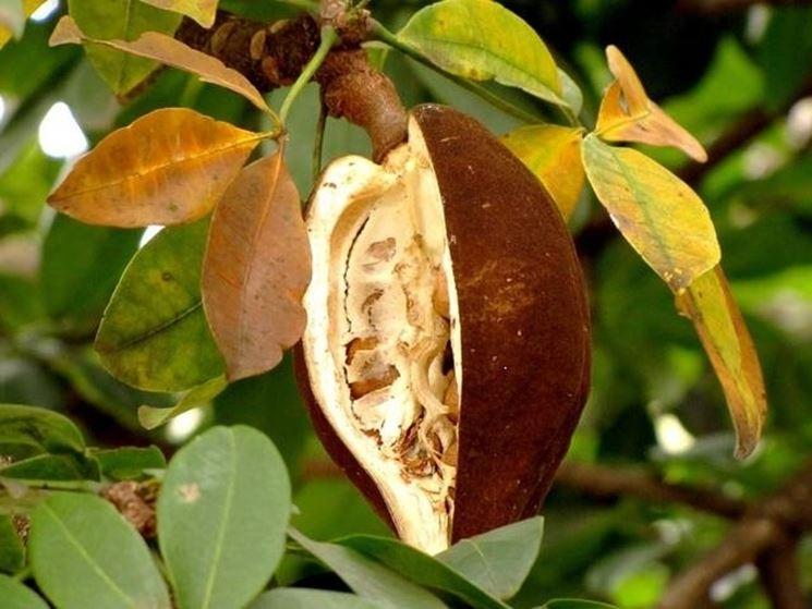 frutti pachira