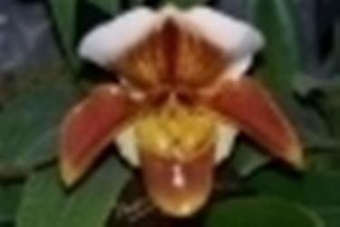 paphiopedilum