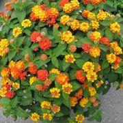 piante sempreverdi da terrazzo in pieno sole