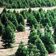 alberi di natale veri