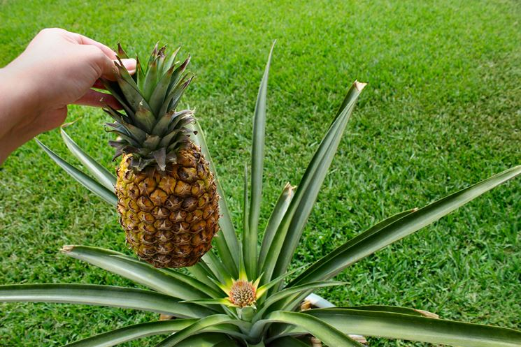 L' ananas