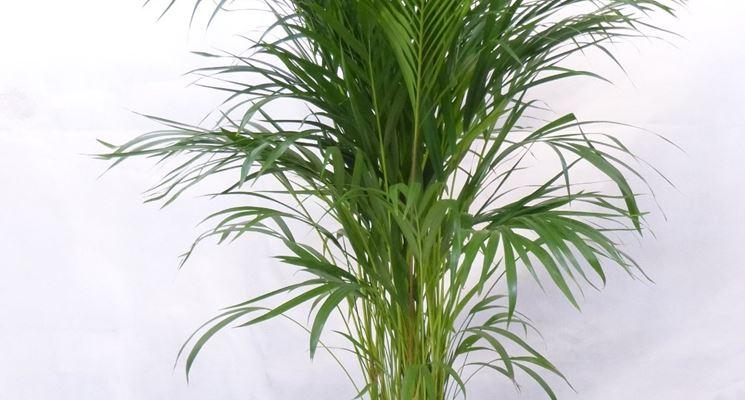 pianta Areca