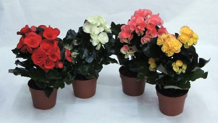 Piante Da Appartamento Begonia.Begonia Varieta Begonia Rex Piante Da Interno Begonia