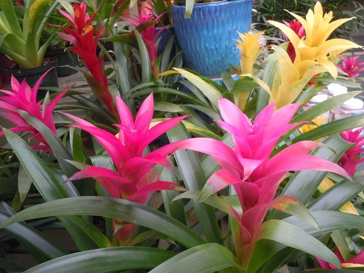 piante bromeliacee