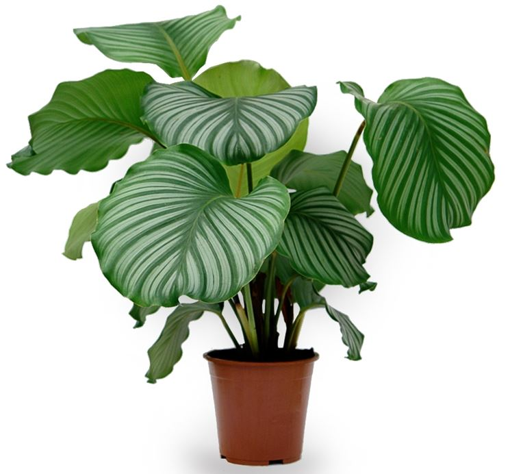 calathea pianta