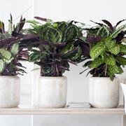 pianta calathea