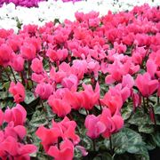 Ciclamino cyclamen cyclamen piante da interno - Gardenia pianta da interno o esterno ...