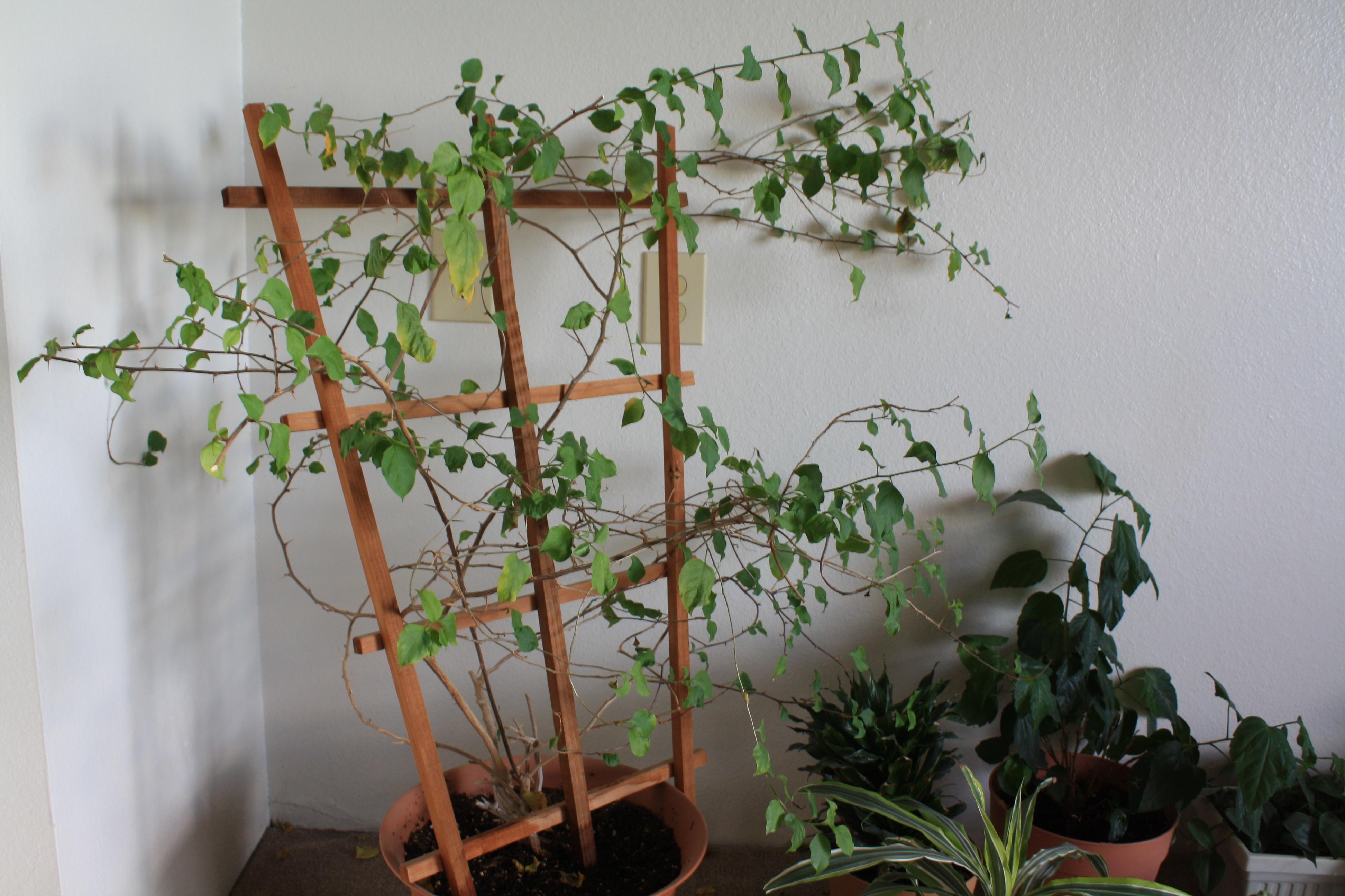 Piante Rampicanti Da Interno vite australiana - cissus - cissus - piante da interno