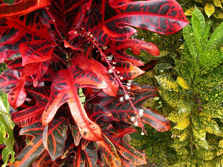 Croton - Codiaeum variegatum - Codiaeum variegatum - Piante da interno - Croton - Codiaeum ...