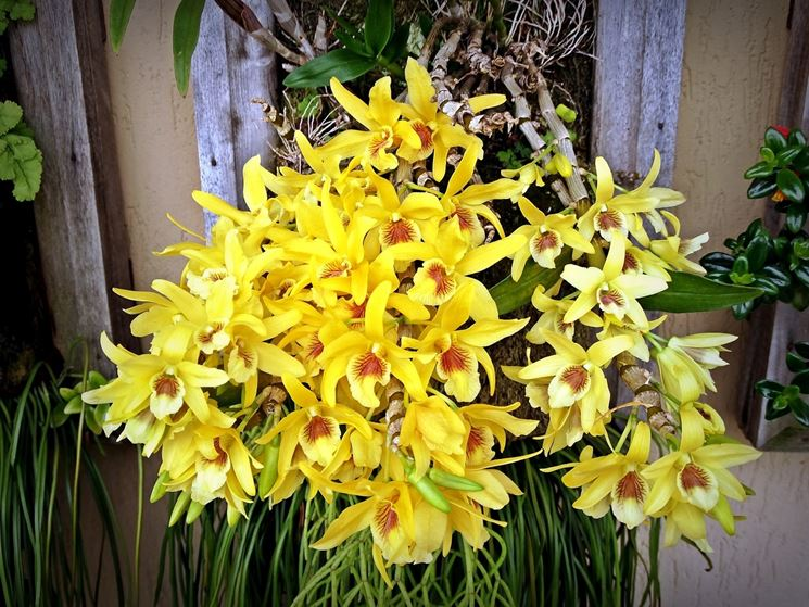 piante Dendrobium