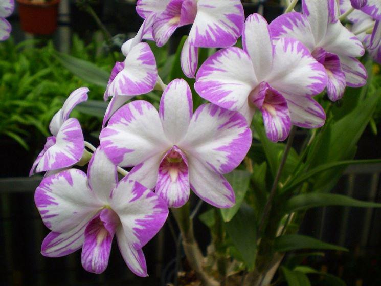 fiori di dendrobium