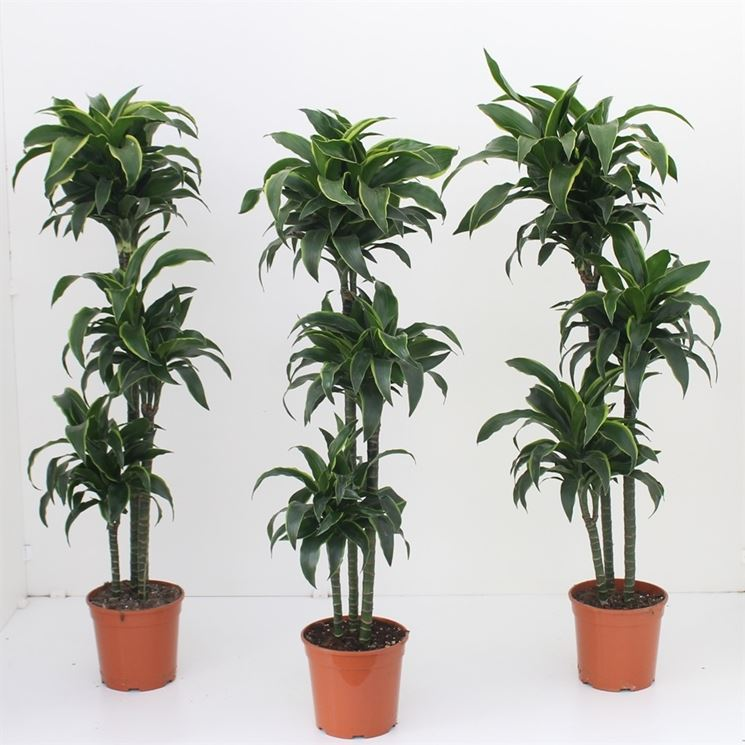 Dracena dracaena dracaena piante da interno for Piante appartamento buio
