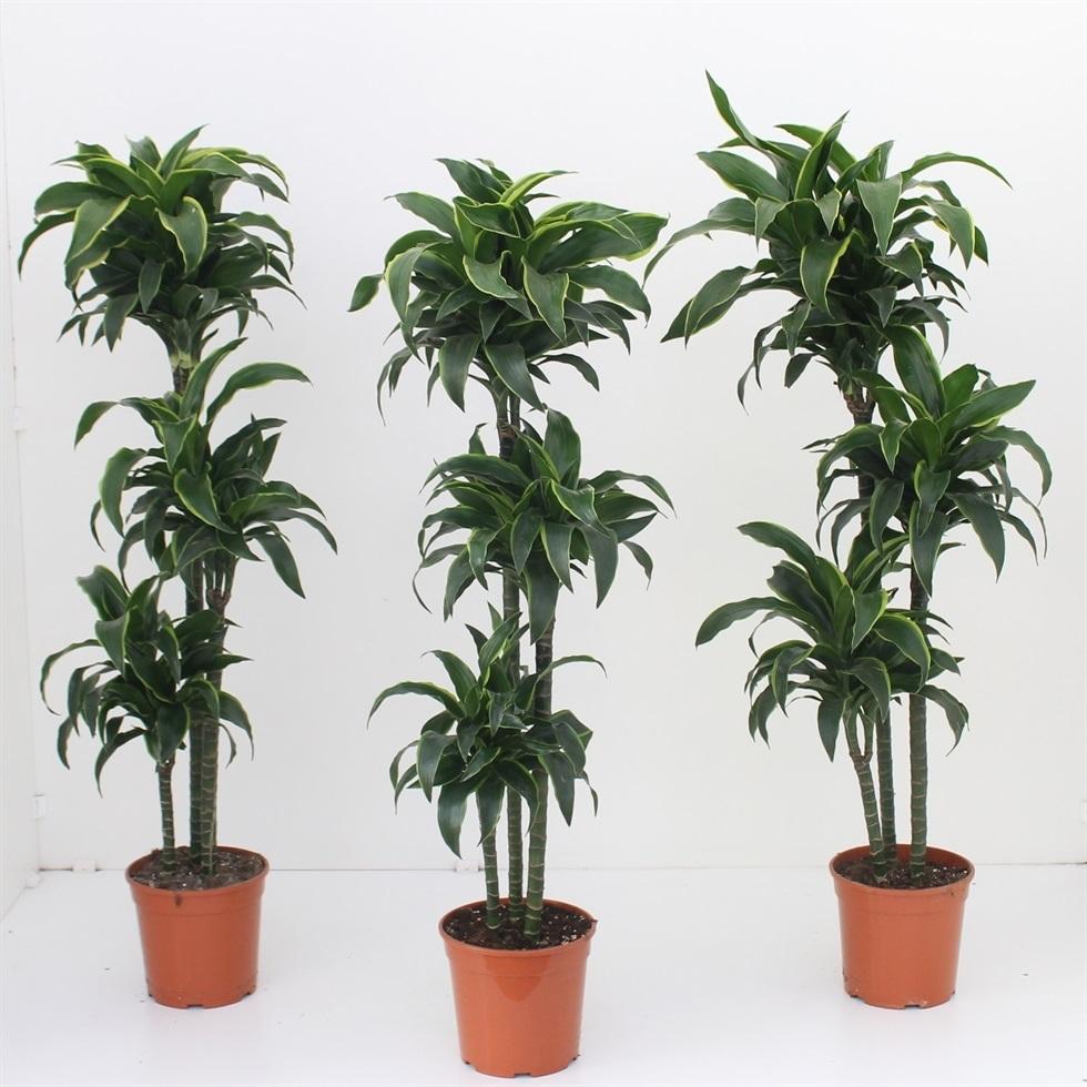 Tronchetto Della Felicità Da Esterno dracena - dracaena - dracaena - piante da interno - dracena
