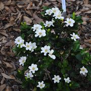 pianta gardenia