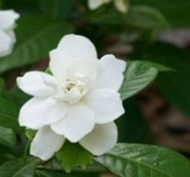 Gardenia gardenia jasminoides gardenia jasminoides - Gardenia pianta da giardino ...