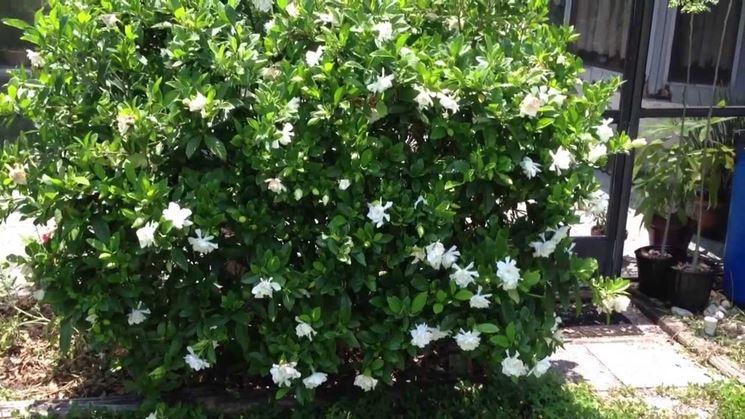 cespuglio di gardenia