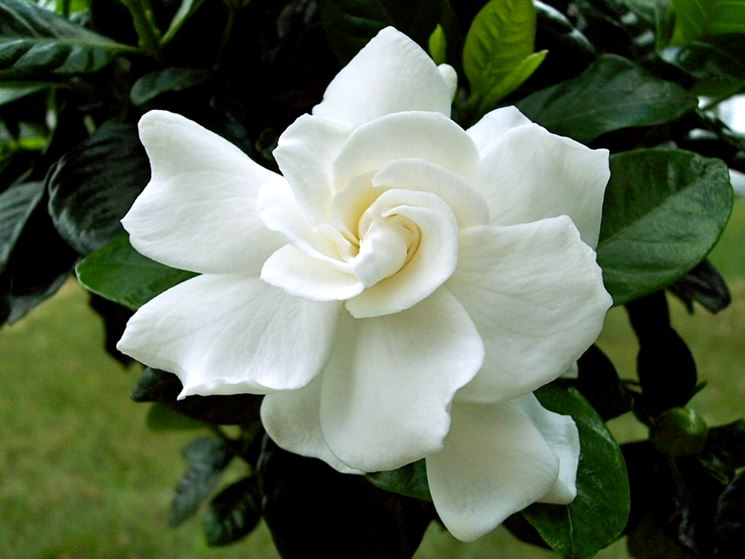 Gardenia grandiflora