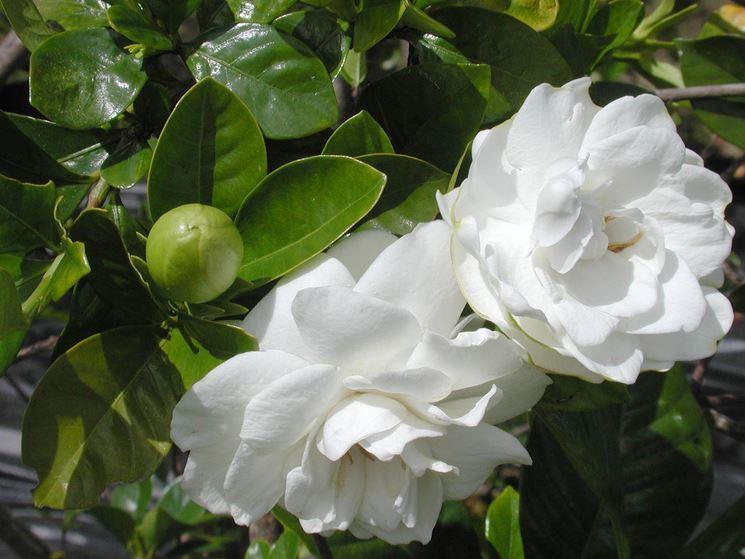 piante di gardenia
