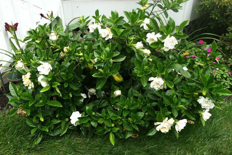 gardenia in terra