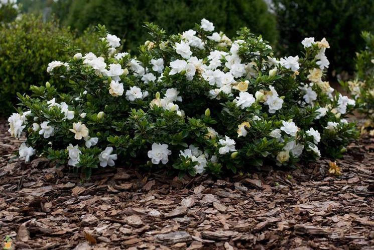 gardenia piena terra
