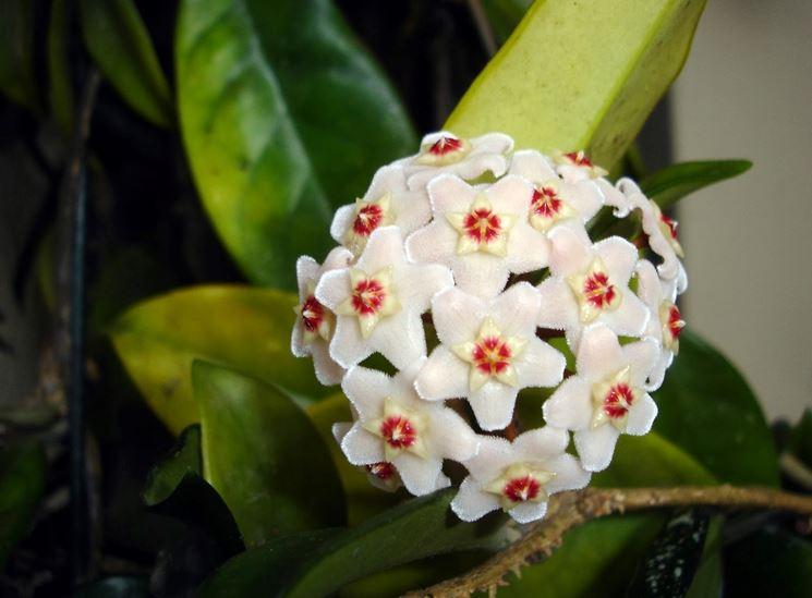 Fiore di cera hoya carnosa hoya carnosa piante da for Dipladenia malattie
