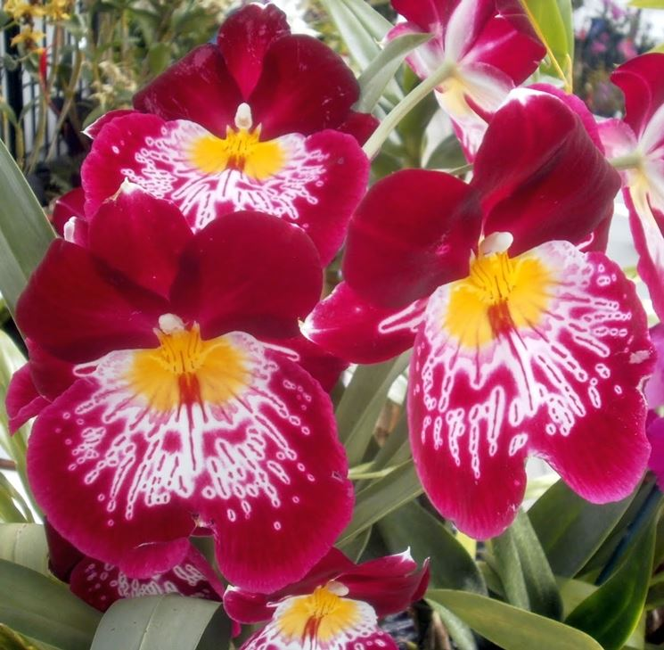 Miltoniopsis fiore