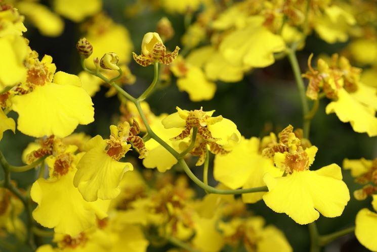 fiori di oncidium