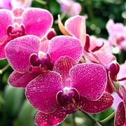 orchidea come curarla