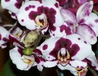 phalenopsisi variegata