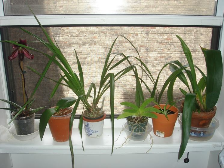 Orchidee piante da interno cura orchidee come curare - Orchidee da esterno ...