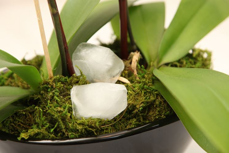 ghiaccio e orchidee