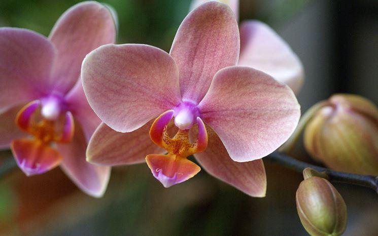 orchidea phalenospis