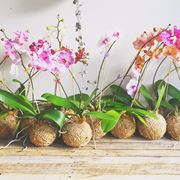 innaffiare orchidea
