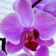 orchidee cura