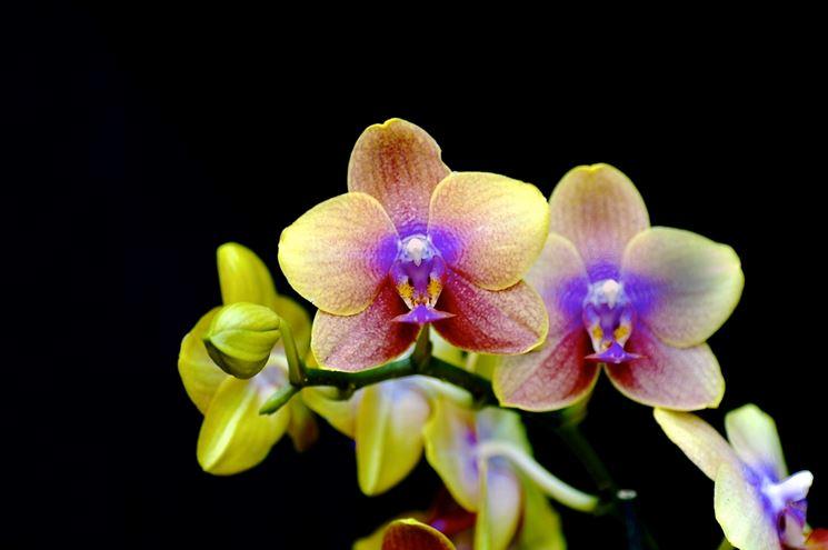 Orchidee piante da interno cura orchidee come curare for Piante classificazioni inferiori successive