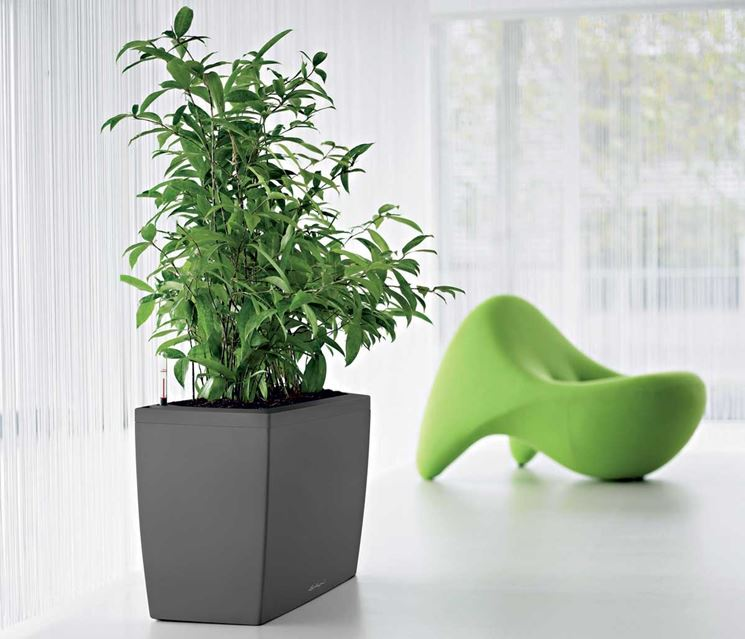 Ficus deltoidea