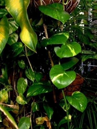 Rampicanti piante da interno rampicanti appartamento for Piante da frutto rampicanti